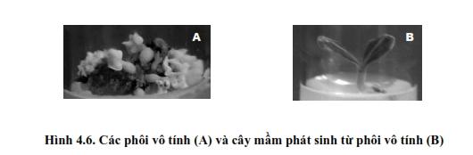 Các phôi vô tính (A) và cây mầm phát sinh từ phôi vô tính (B)